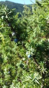 juniperus_par_pholiane