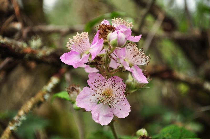 fleurs-de-roncier