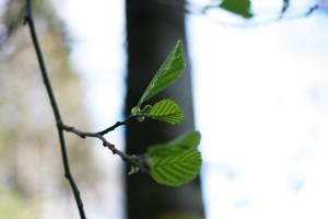 aulne-feuilles