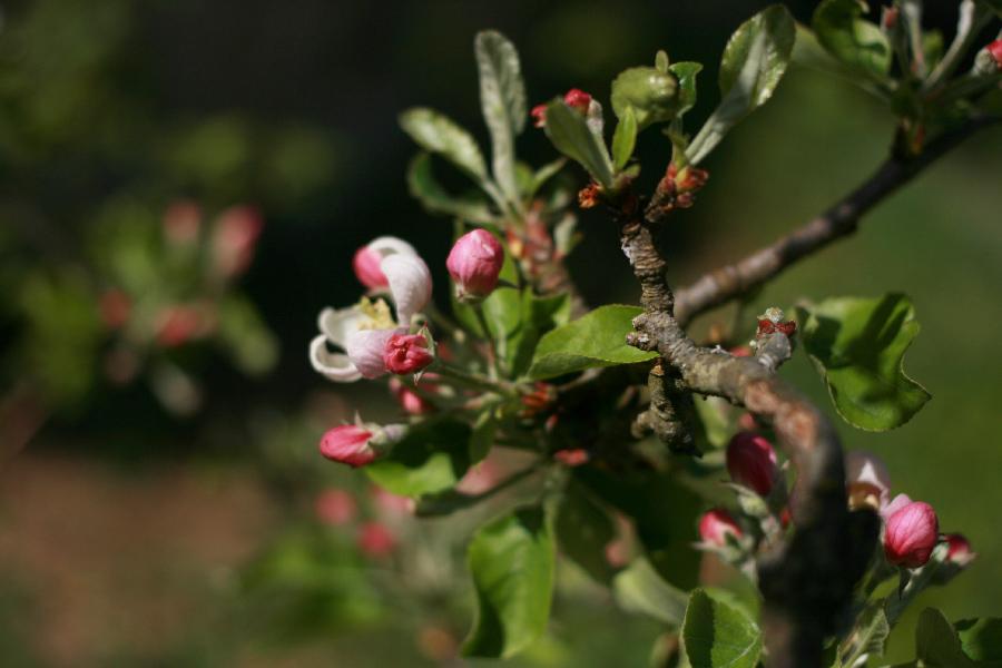 fleurs-de-pommier
