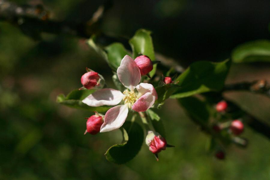 fleurs-pommier