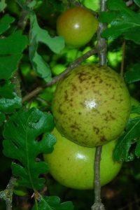 Pommes de chêne (galle)
