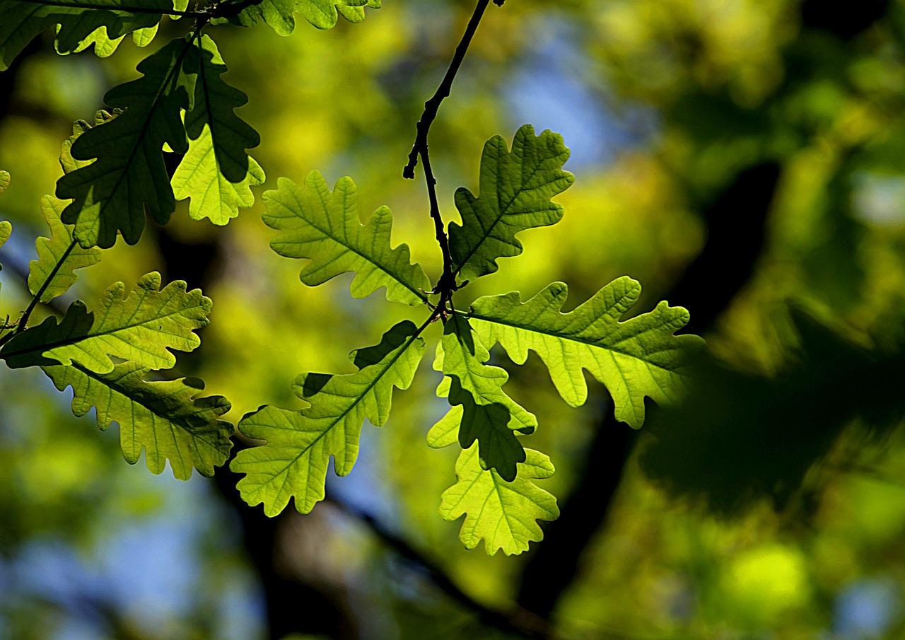 Energies des Arbres Lunaires : le chêne