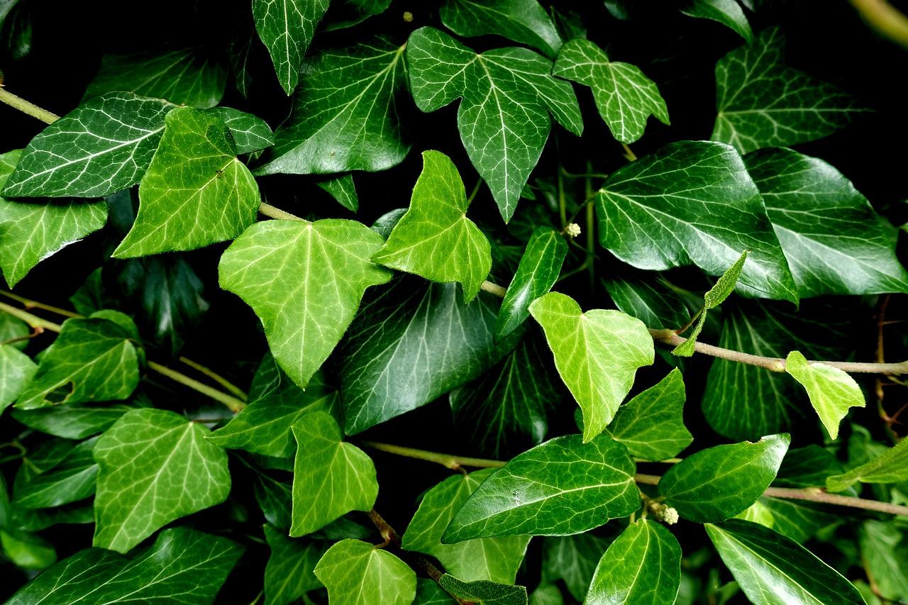 Lierre : langage des fleurs, remèdes, pouvoirs & folklore